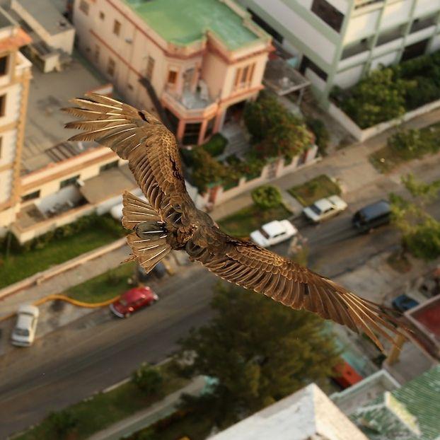 Un avvoltoio sfrutta la corrente ascensionare creata dal FOCSA, un grattacielo all'Avana, a Cuba