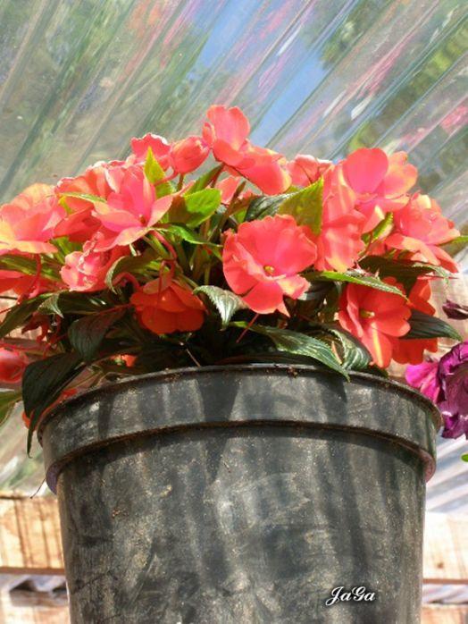 """Na pierwszy ogień pójdzie  """"ognisty"""" niecierpek, który w tym kwiatowym zakątku prawie pod dachem stoi. I dzięki temu i dach się kolorami mieni i niecierpek."""
