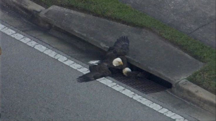 Bald Eagle Rescued From Florida Storm Drain After Brawl With Another Eagle - Yahoo