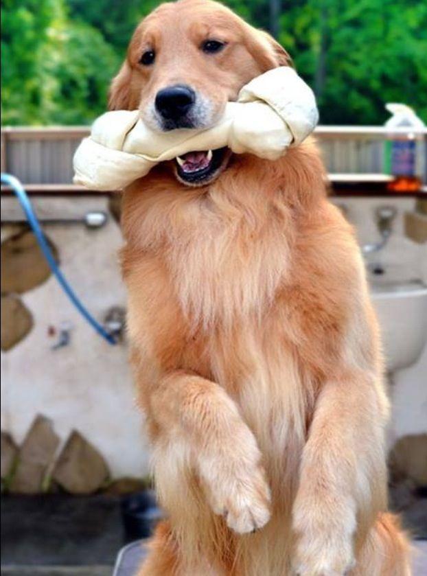 """I am gonna take good care of this!"" #dogs #pets #GoldenRetrievers Facebook.com/sodoggonefunny"