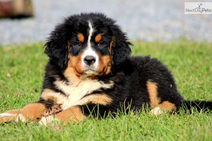Cute Bernese Mountain Dog Puppies | Butch - Bernese Mtn Dog Male
