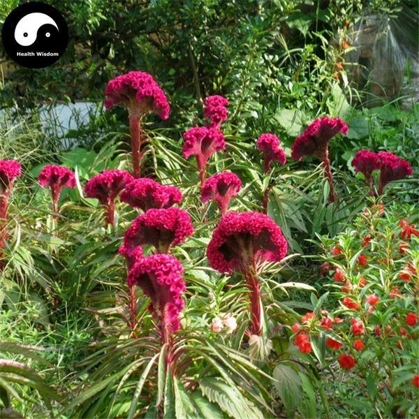 Buy Buy Cockscomb Flower Seeds 600pcs Plant Garden Celosia Cristata Flowers Online Www Healthwisdom Shop 꽃 꽃그림 정물 사진
