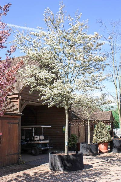 Amelanchier Lamarckii June Berry Tree Shrub Majestic