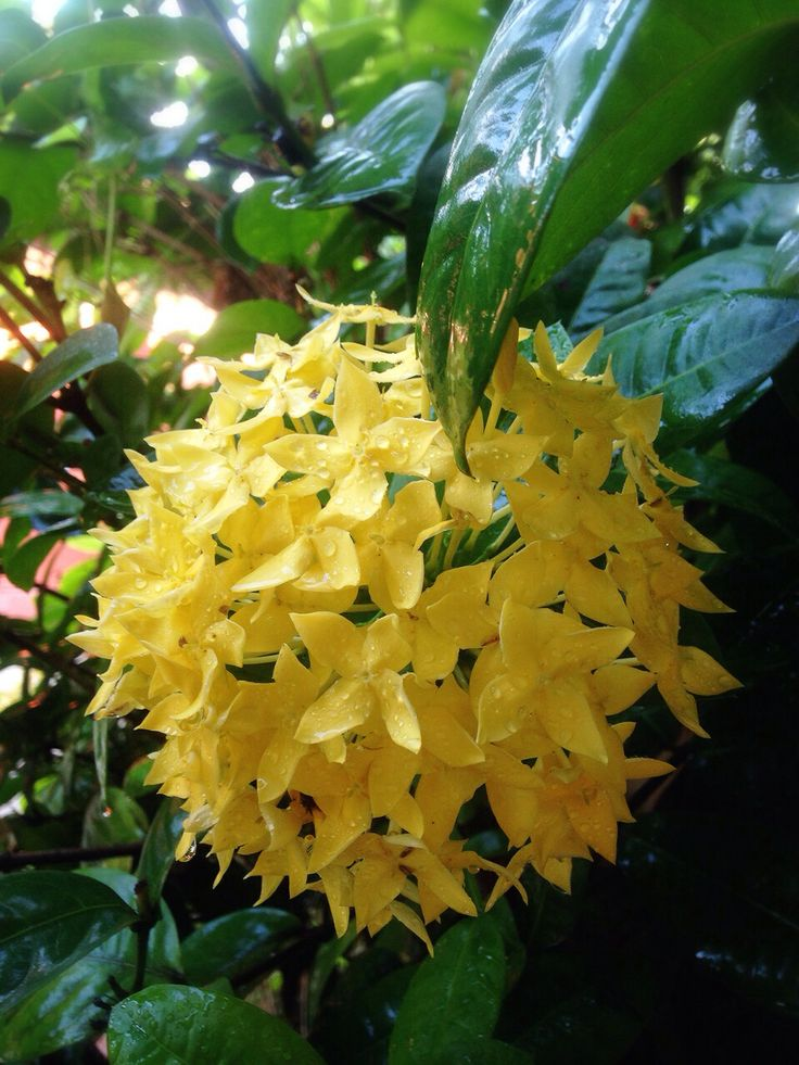 Yellow West Indian Jasmine