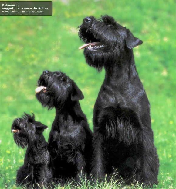 Risultato della ricerca immagini di Google per http://www.animalinelmondo.com/images/cane/shnauzer-02.jpg