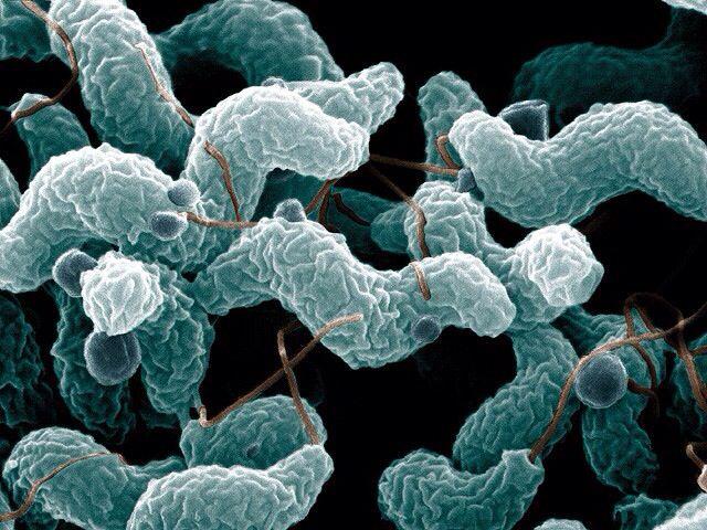 Factores de patogenicidad y virulencia: toxinas: toxina distentora citoletal y dos exotoxinas (Shiga-like y Cholerae-like). posee Antigeno PEB1, flagelo que le sirve para adhesion, colonizacion e invasion. LPS (endotoxina) y un Lipooligosacarido para resitencia, adherencia e invacion. y N-glicano.