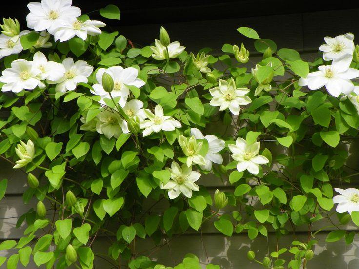 garden drama clematis 'guernsey cream'