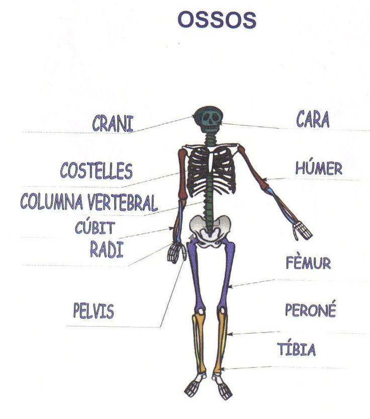 Els ossos, músculs, piràmide alimentària...
