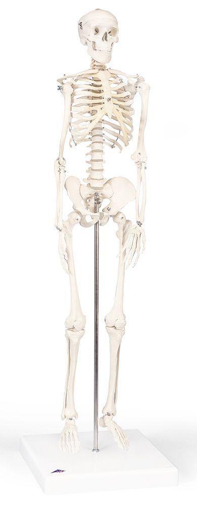 Perhaps for Barcelona Mini Human Skeleton Anatomy Model
