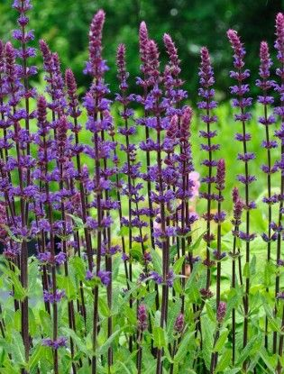 Salvia nemorosa 'Carradonna' Fl. June-Aug. Sun or partial shade. H 30-50cm, S 45cm. Cut back to produce more flowers.