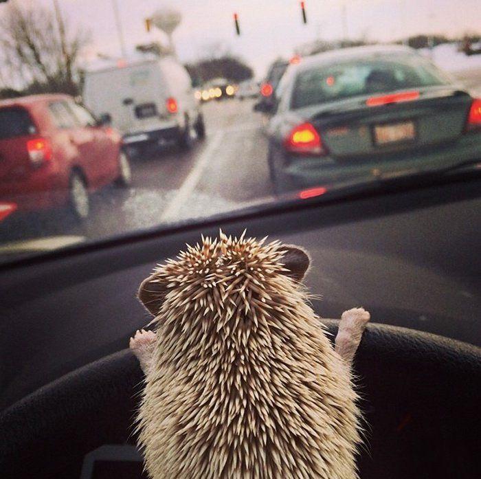 My Hedgehog Drives Me Everywhere.  20+ adorable pics to celebrate Hedgehog Day [2nd Feb]