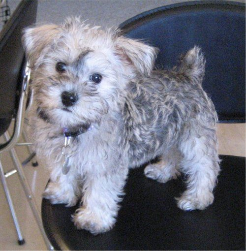 "Schnoodle...The ""breed"" of dog I had when I was little.  ours was a miniature schnauzer and miniature poodle...she was such a sweet cuddly dog.  If we ever get a family dog, this is what I would get."
