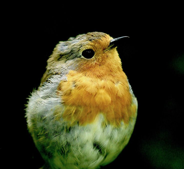 UK's National Bird (@bird_vote) | Twitter