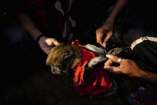 [VIDEO E PETIZIONE] Le agghiaccianti scimmie mascherate dell'Indonesia   All-4Animals