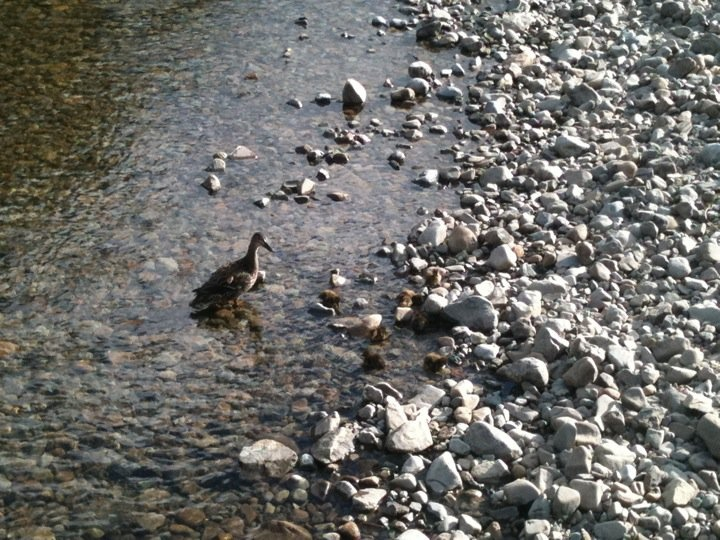 Duck with her ducklings on a river