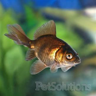 Black Moor Fantail Goldfish Scientific Name Carassius