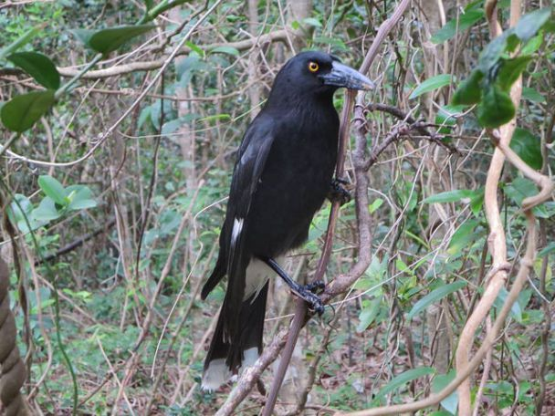 I rather like the Currawong ...