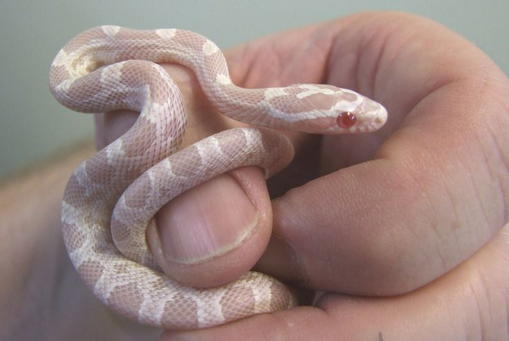 Albino snow corn snake (hatchling)