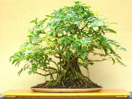 Best 536 bonsai tree basics with examples images on for How to make an olive tree into a bonsai