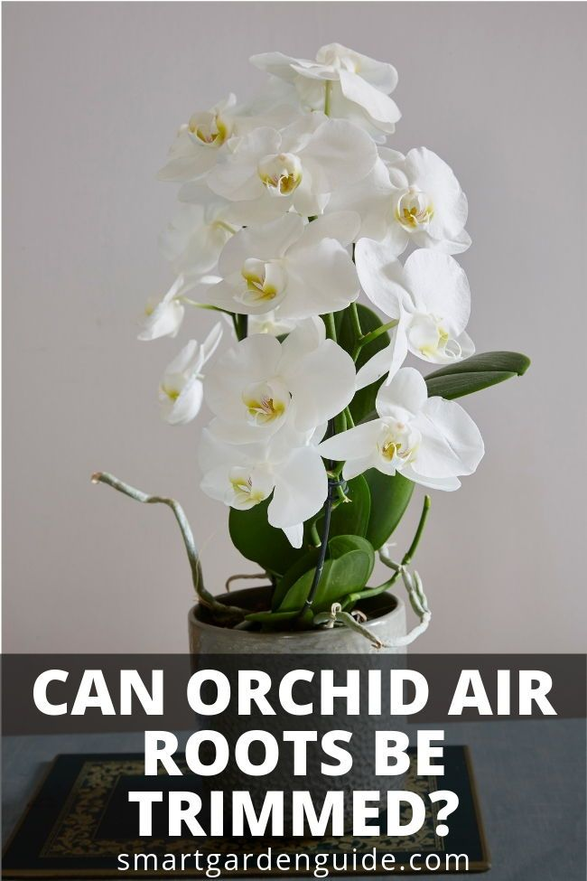 Can Orchid Air Roots Be Trimmed Phalaenopsis Orchid Care Orchid