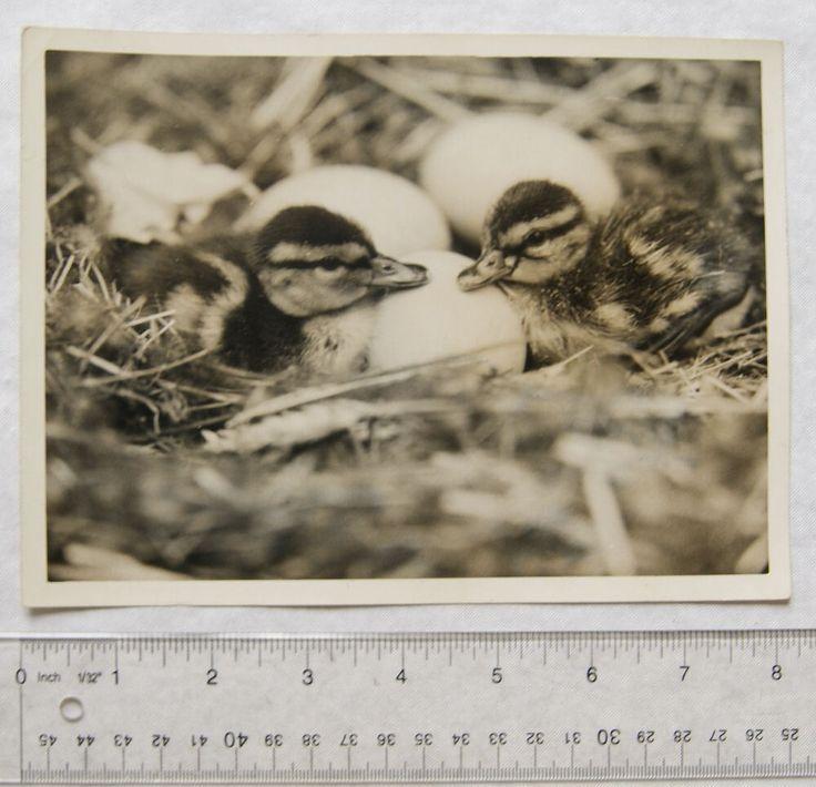 1940 Press Photo Baby Mallard Ducks at London Zoo | eBay