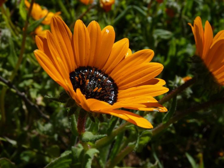 Wild Flower - West Coast National Park