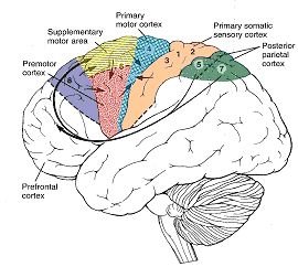 Best 25 primary motor cortex ideas on pinterest motor cortex primary motor cortex ccuart Gallery