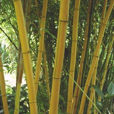 Bambou vivax 'Aureocaulis'