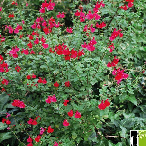 Best 25 sauge fleur ideas on pinterest - Les jardins de la marjolaine bordeaux ...