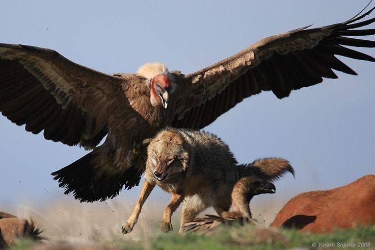 California Condor - On their way back from near extinction. Cool, condor defending best from fox. HUGE BIRD!!!