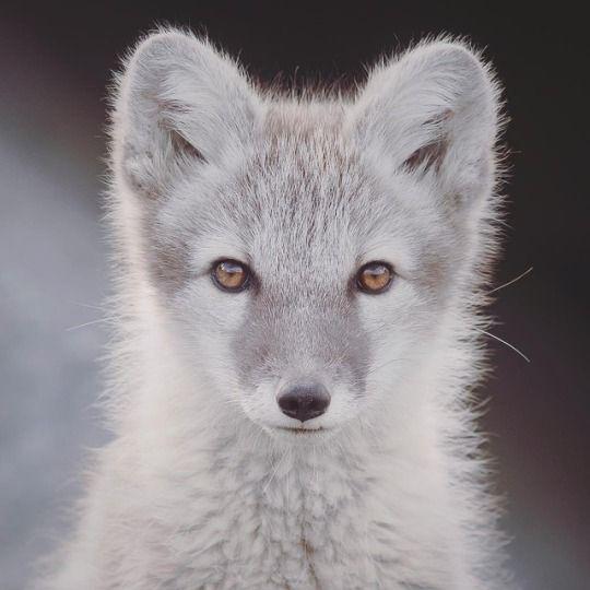 Everything Fox | Cute Animals | Arctic fox, Pet fox, Fox