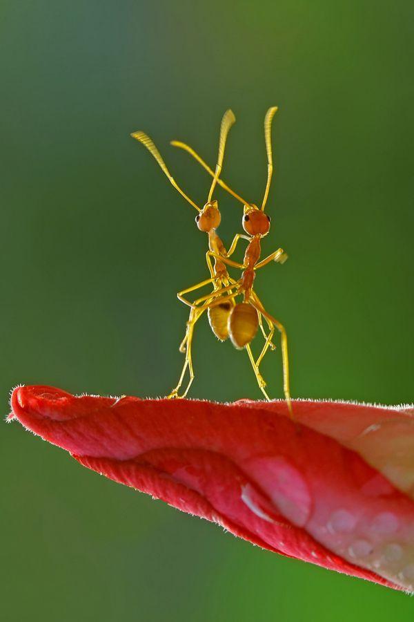 Leaf dancing ants