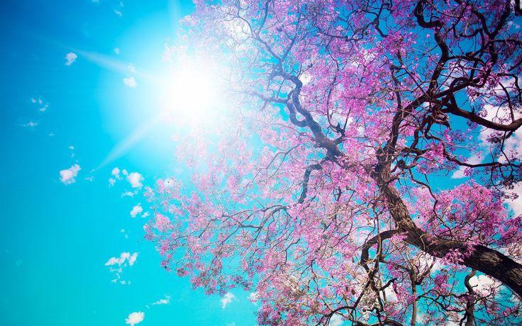 cherry blossom free desktop wallpaper, 2560 x 1600 (1873 kB)