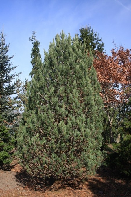 93 best evergreen trees images on pinterest plant for Small slow growing evergreen trees