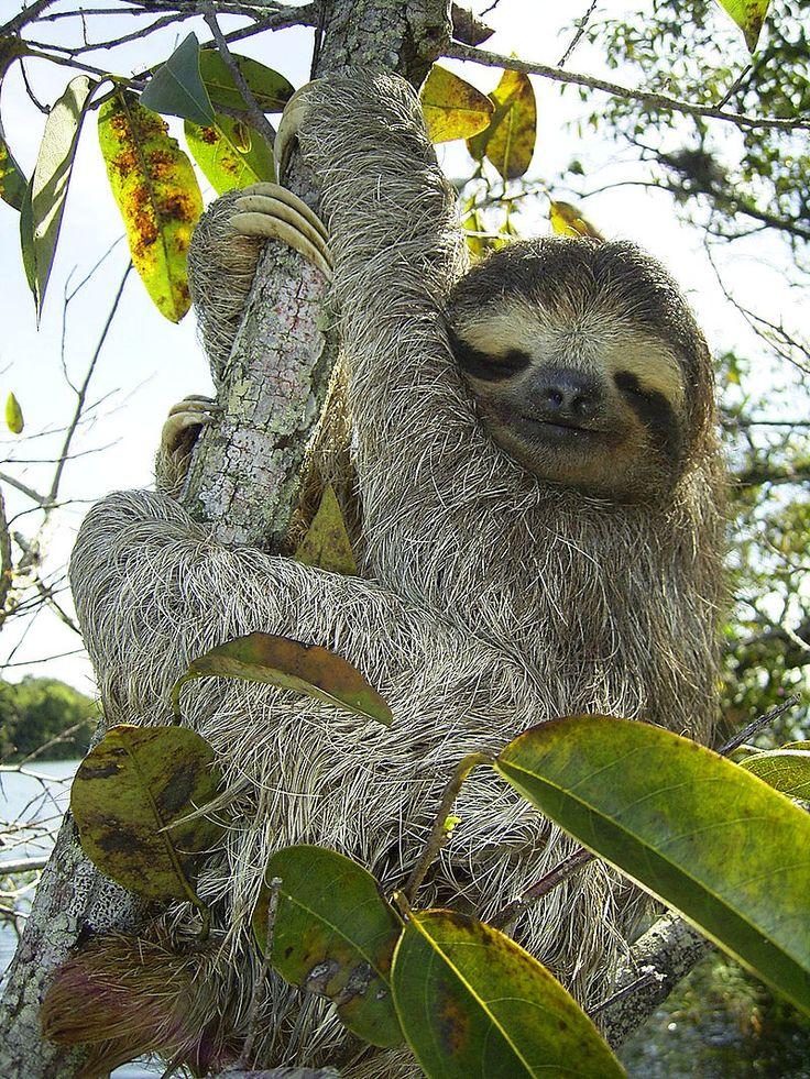 * Bicho-Preguiça * (Bradypus variegatus).