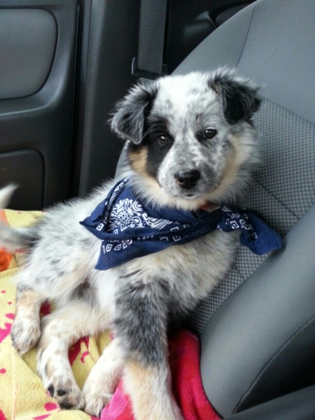 Australian Shepherd/Blue Heeler Mix