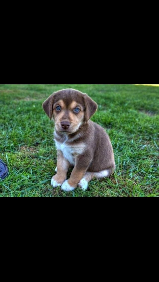 Beagle Husky Mix Puppy-- saw one at Homecoming this weekend & I am in love!!