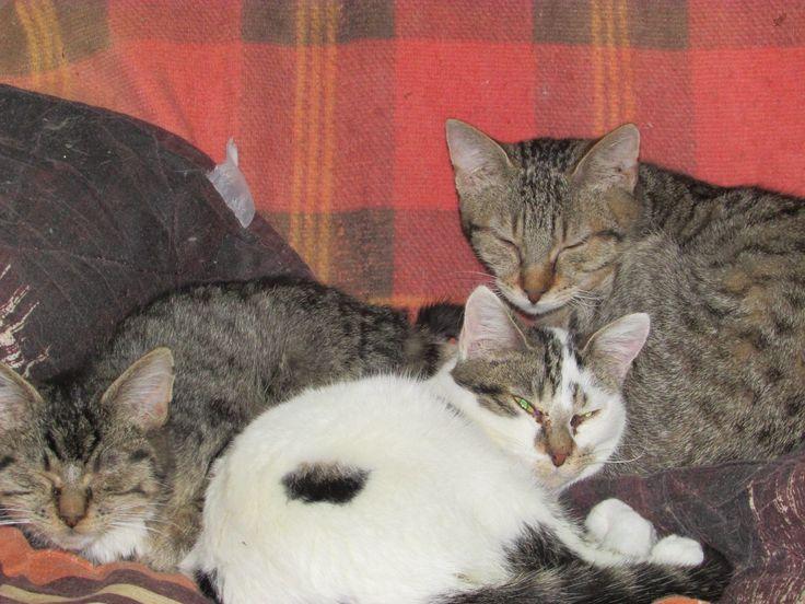 2 nouveaux sauvetages, 11 chats supplémentaires à prendre en charge, 22 chats en 15 jours ! Des chats éprouvés, affamés, en mauvaise santé, tous à soigner, certains à stériliser, des extractions dentaires à programmer et tout ce qu'on découvre au fil des jours dans ces situations là ! Ils ont été les malheureuses victimes d'humains en dérive, aux côtés de notre association partenaire nous devons leur faire oublier ces temps difficiles et nous mobiliser pour donner aux Moustaches du Be...