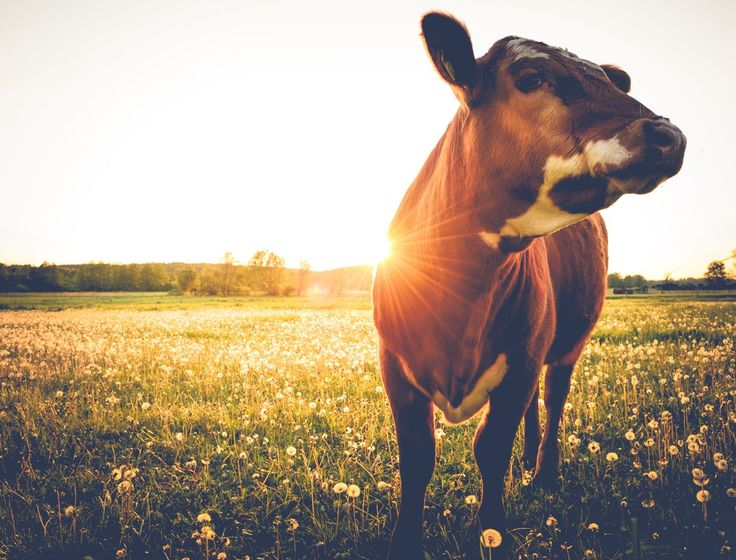 A new 100 percent grass-fed dairy standard, to be officially launched in February, has been created by the American Grassfed Association.