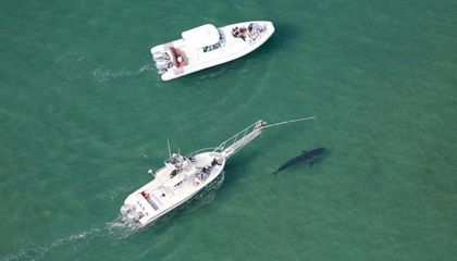 You Can Help Scientists Study Great White Sharks Off the Coast of Cape Cod The Atlantic White Shark Conservancy is offering boating expeditions open to the public now through October
