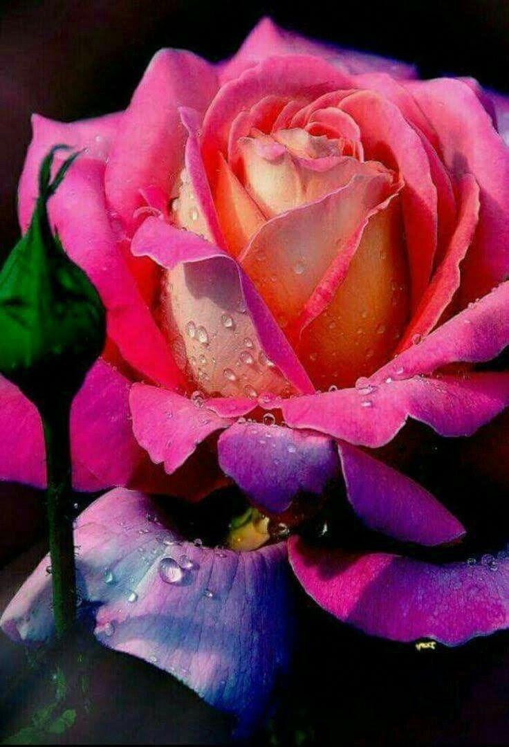 Картинки розы на заставку телефона вертикальные очень красивые