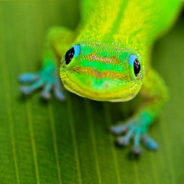 gecko rainbow
