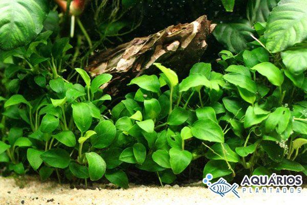 Anúbia Barteri var. Nana. Particularmente é nossa anúbia preferida. Ficou linda nesse aquário plantado!