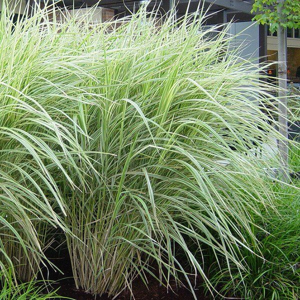 Variegated Japanese Silver Grass for Sale Online – Greener Earth Nursery