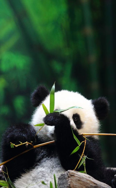 Make sure to click through; there's 18 pictures of the baby panda, and he's too cute for words! -mh