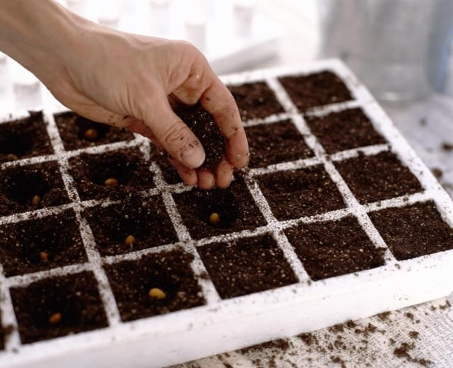 How to grow tomatoes from seed. Tips for getting started growing tomato plants from seed to table.