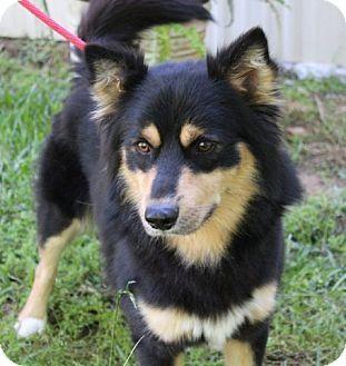 Locust Fork, AL - Collie Mix. Meet Langston, a dog for adoption. http://www.adoptapet.com/pet/15483820-locust-fork-alabama-collie-mix