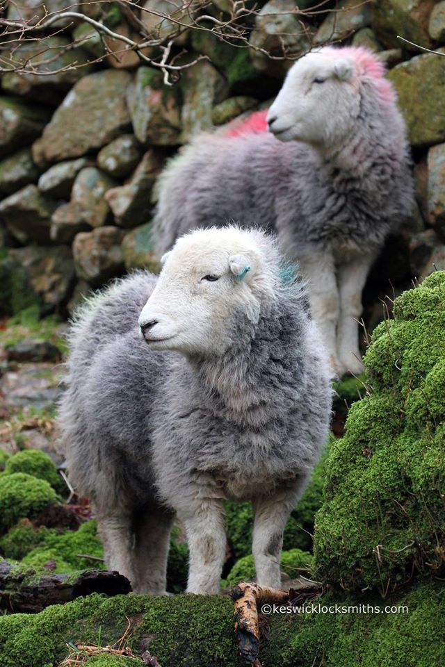 Herdwick sheep in Buttermere, the Lake District's native breed.