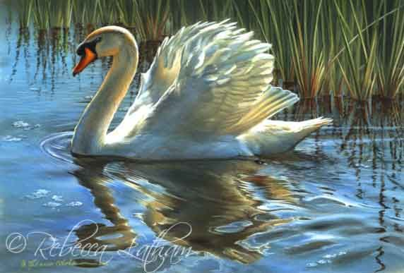 Image detail for -... Rebecca Latham's Nature & Wildlife Art » Swan Paintings & Sketches