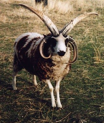 Jacob 4 Horn Sheep  PARKER Spotted Goats amp Spotted 4 Horn